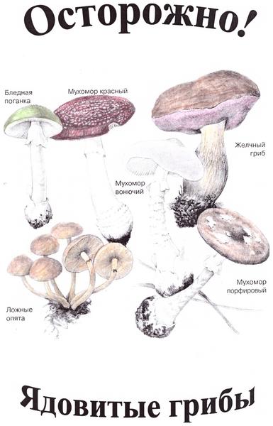 Доклад о ложных грибах 8204