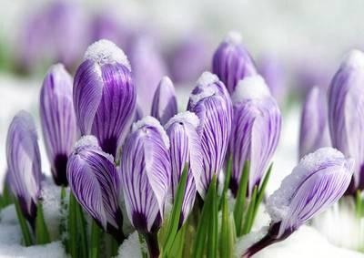 Картинки по запросу весенние первоцветы